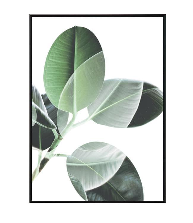 Fikus obraz rostliny design studio la forma