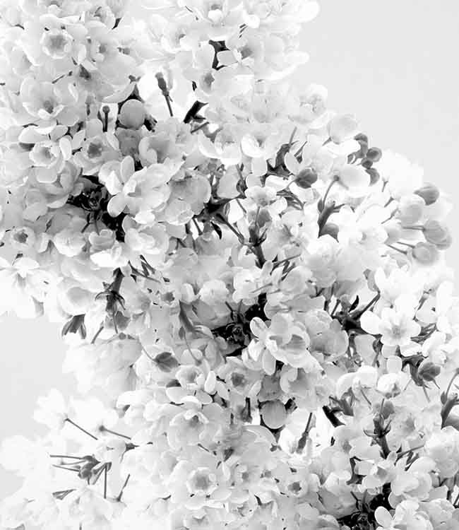 Mahonia_flowerweb_detail