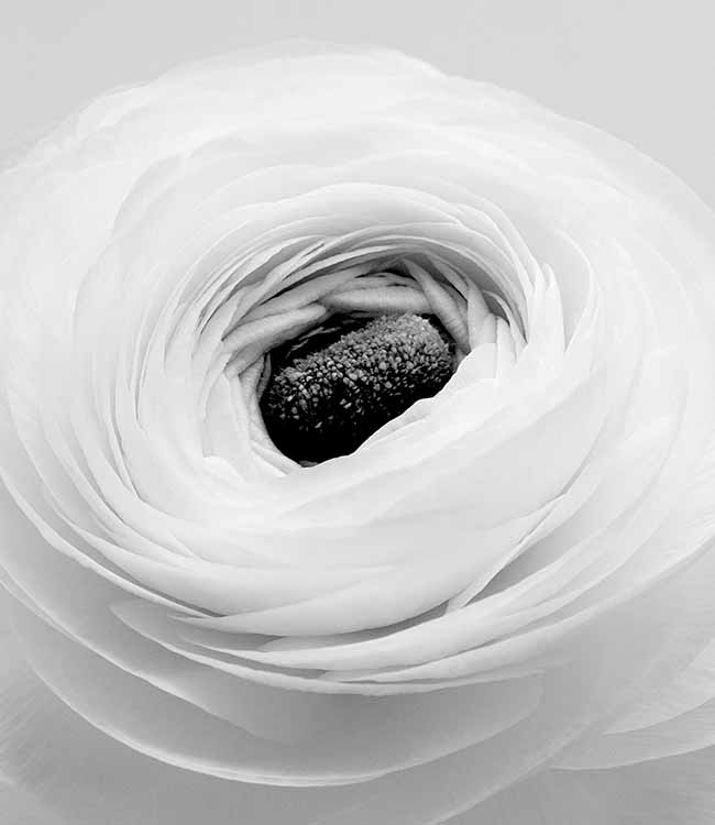Ranunculus_flower_detail