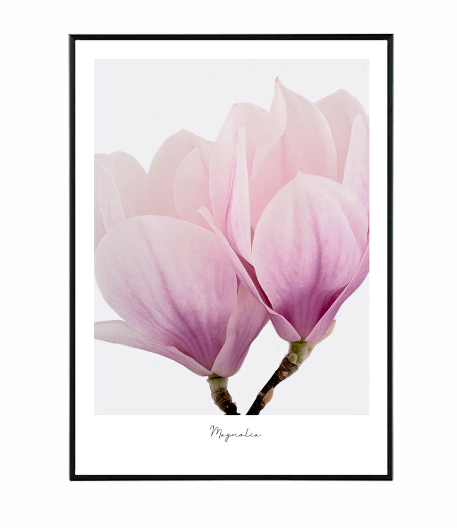 Iconic Magnolia 1