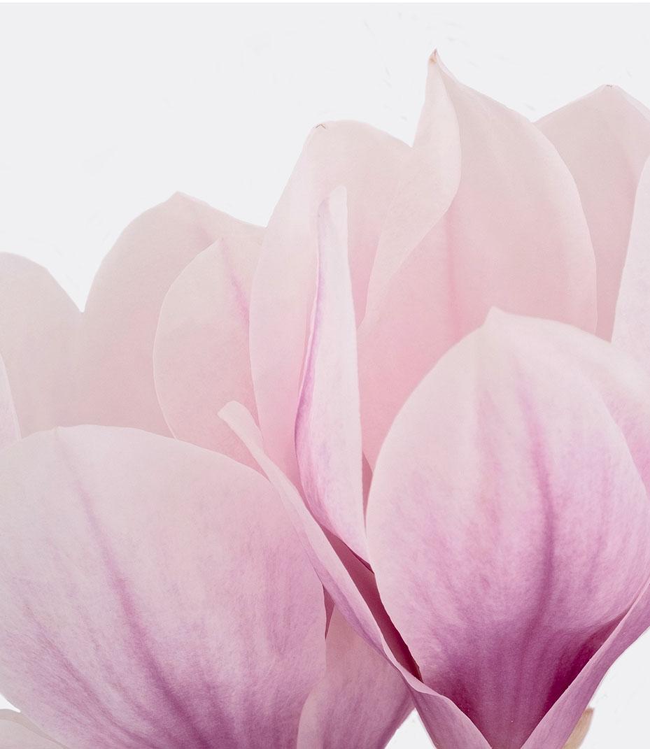 Iconic Magnolia 2