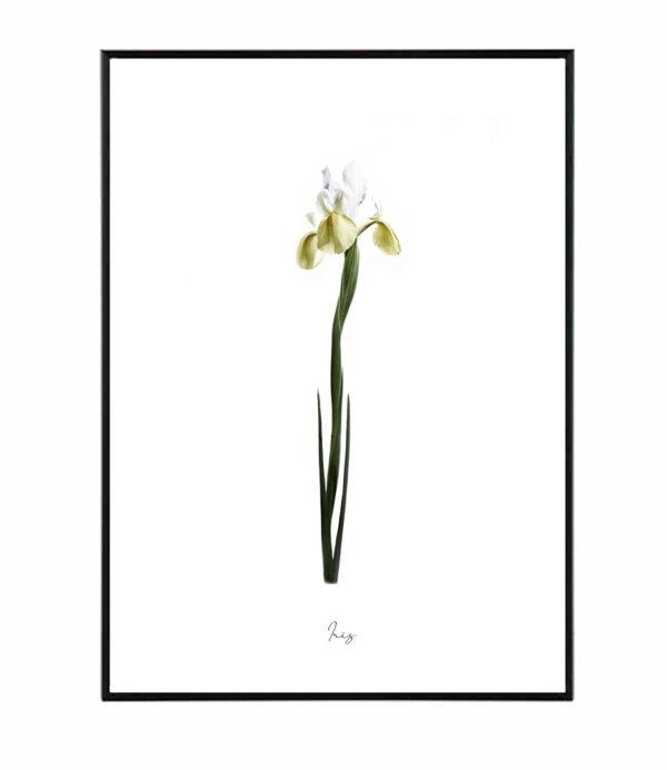 Iris 17